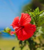 Hibiscus can reverse excessive hair fall.