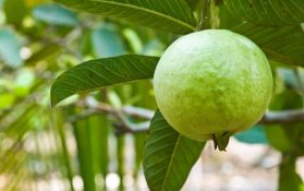 Health Benefits of Eating Guava: From Leaves to Fruits, Raw or Riped