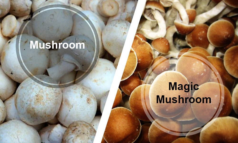 Magic-Mushrooms-Interesting-Facts-02